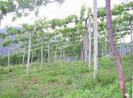 ぶどう園の写真